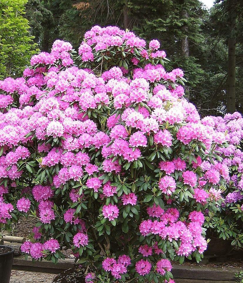 Рододендрон гібридний Roseum Elegans 2 річний, Рододендрон гибридный Розеум Элеганс Rhododendron