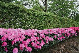 Рододендрон гібридний Roseum Elegans 2 річний, Рододендрон гибридный Розеум Элеганс Rhododendron, фото 3
