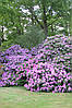 Рододендрон гібридний Roseum Elegans 2 річний, Рододендрон гибридный Розеум Элеганс Rhododendron, фото 4