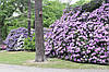 Рододендрон гібридний Roseum Elegans 2 річний, Рододендрон гибридный Розеум Элеганс Rhododendron, фото 5