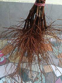 Виноград саженцы школка. столовые сорта винограда в интернет магазине Ольги Админ