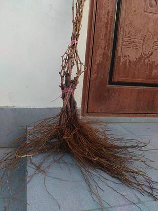 Виноград саженцы школка. столовые сорта винограда в интернет магазине Ольги Админ, фото 2