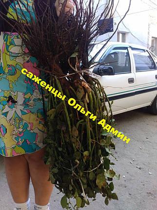Роза чайно-гибридная. 2 х летние саженцы декоративных цветов, фото 2