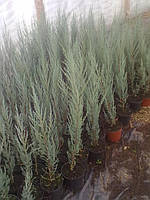 Саженцы хвои  в горшке- сорт Скальный
