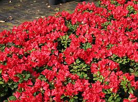 Рододендрон Baden-Baden 3 річний, Рододендрон Баден Баден, Rhododendron Baden-Baden, фото 3