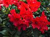 Рододендрон Baden-Baden 3 річний, Рододендрон Баден Баден, Rhododendron Baden-Baden, фото 4