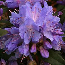 Рододендрон щільний Blue Tit 3 річний, Рододендрон плотный Блю Тит, Rhododendron Blue Tit, фото 3