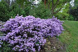 Рододендрон щільний Blue Tit 3 річний, Рододендрон плотный Блю Тит, Rhododendron Blue Tit, фото 2