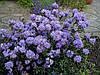 Рододендрон щільний Blue Tit 3 річний, Рододендрон плотный Блю Тит, Rhododendron Blue Tit, фото 5