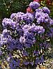Рододендрон щільний Blue Tit 3 річний, Рододендрон плотный Блю Тит, Rhododendron Blue Tit, фото 6