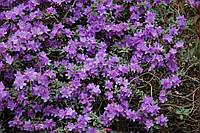 Рододендрон щільний Ramapo 3 річний, Рододендрон плотный Рамапо, Rhododendron Ramapo