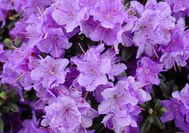 Рододендрон щільний Ramapo 3 річний, Рододендрон плотный Рамапо, Rhododendron Ramapo, фото 2
