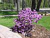 Рододендрон щільний Ramapo 3 річний, Рододендрон плотный Рамапо, Rhododendron Ramapo, фото 3