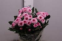Хризантема мелкоцветковая веточная помпонная Лилипоп . черенки рассада розовая сиреневая