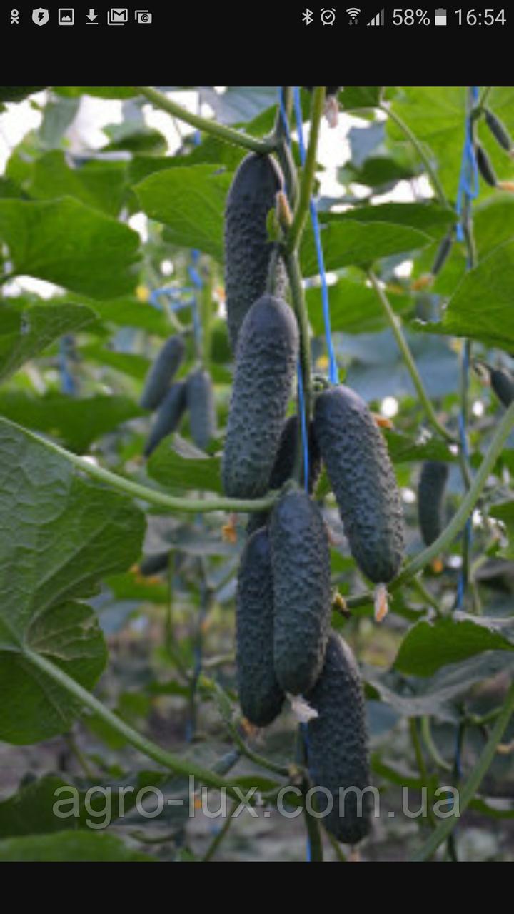 Семена огурца SV4097CV  СВ 4097  1000 ШТ  Seminis / Семинис