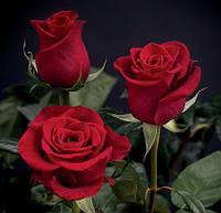 Роза 60см Фридом