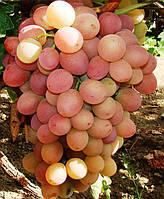 Саженцы винограда Ливия (корнесобственные)
