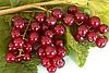 Смородина красная Виксне (Viksne) (саженцы)