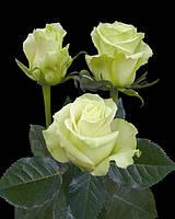 Роза 60см Мондиаль