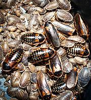 Продам Аргентинский таракан (Blaptica dubia), кормовые тараканы, кормовые насекомые