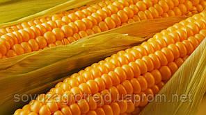 """Днепровский 181"" семена кукурузы"