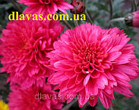 Хризантема мультифлора ГВОЗДИКА, фото 1