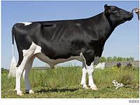 Сперма быка французской генетики, голштинской породы HENDRIX