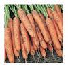 НИАГАРА F1 - семена моркови Нантес/Берликум (1,6 - 1,8 мм), 1 000 000 семян, Bejo Zaden