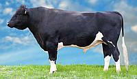 Сперма быка Портулак