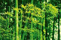 Фотообои бумажные на стену 115х175 см 1 лист:  природа, Бамбук весной №670