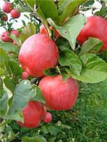 Саджанці яблунь Зимове Плесецького