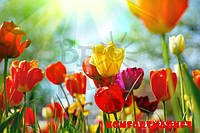 """Фотообои: """"Яркие тюльпаны"""""""