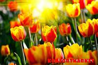 """Фотообои: """"Лучи и тюльпаны"""""""