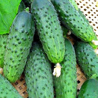 Огірок сорт Джерело