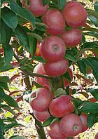 Саджанці колоновидних яблунь Джин (КВ-5)