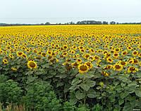Міраж насіння соняшнику, фото 1