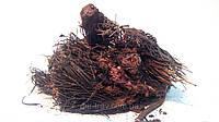 Красная щетка корень, фото 1