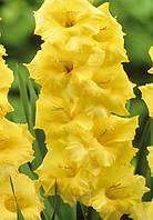 Гладиолус Jacksonville Gold  крупноцветковый