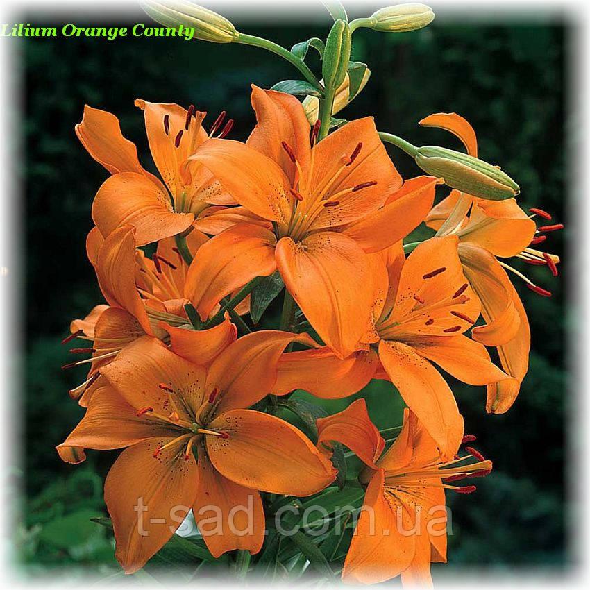 Лилия Orange County (Оранжевое графство)