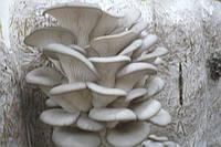Семена грибов, Мицелий (грибница). Штамм R 80 (Вешенка).