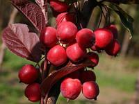 Саджанці яблунь Райська яблуня, фото 1