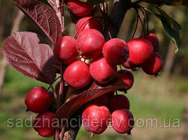 Саджанці яблунь Райська яблуня