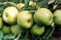 Саджанці яблунь Ренет Кубанський(покращений клон яблуні  Симеренко)