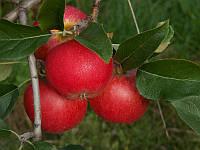 Саджанці яблунь Рубінола