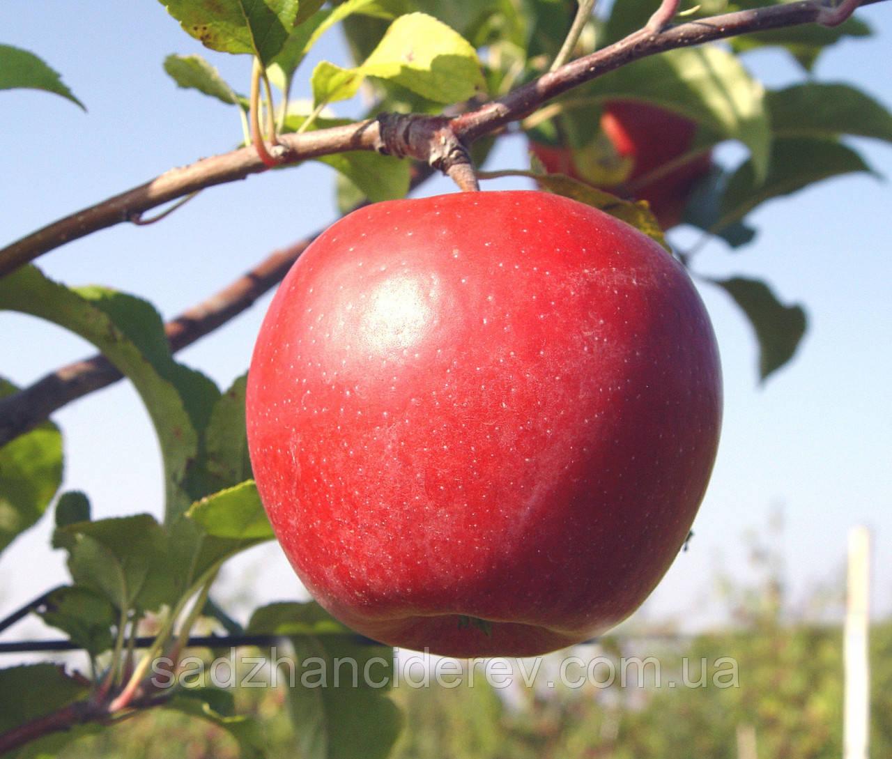 Саджанці яблунь Руж розе