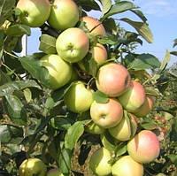 Саджанці яблунь Скіфське золото
