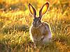 Обзор препаратов для ухода за ушами кроликов: Мастилекс,Отомин, Амитразин, Анадин