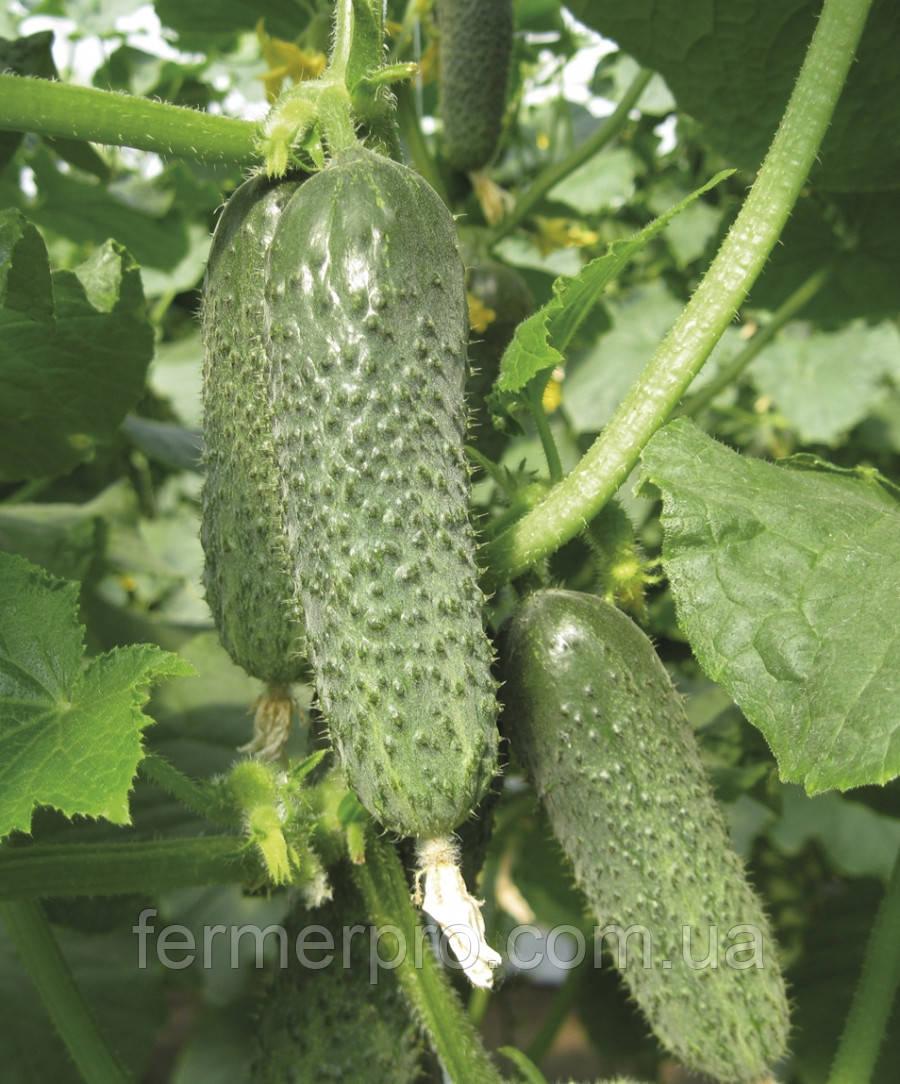 Семена огурца Оптимус F1 250 семян Lark Seeds