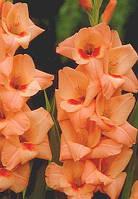 Гладиолус Orange King
