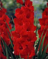 Гладиолус Oskar крупноцветковый
